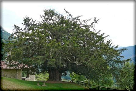 spanjemijnland | Bermiego Taxusboom - Asturië